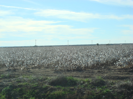 Cotton_fields_121607